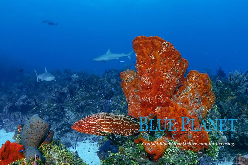 black grouper, Mycteroperca bonaci, with Caribbean reef sharks, C. perezii, & orange elephant ear sponges, Agelas clathrodes, Bahamas (W. Atlantic) (do)