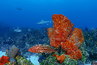 black grouper, Mycteroperca bonaci, with Caribbean reef sharks, C. perezii, & orange elephant ear sponges, Agelas clathrodes, Bahamas (W. Atlantic) (do)