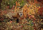 Red fox, Minnesota