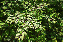 Japanese Knotweed {Fallopia japonica} classed as an invasive species in the UK. The plant can damage buildings and roads as well as forming dense colonies that crowd out native species. UK, September.