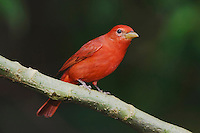 Summer Tanager, Piranga rubra, male perched, Central Valley, Costa Rica, Central America, December 2006