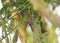 Plain brown woodcreeper, Dendrocincla fuliginosa. San Jorge de Milpe Eco-Lodge, Mindo, Ecuador