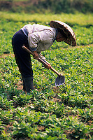 Asie/Thaïlande/Env de Chiang Mai : Paysanne travaillant dans les rizières où on cultive l'arachide en hiver
