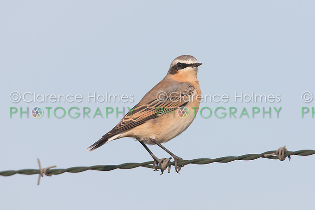 Northern Wheatear (Oenanthe oenanthe) - Male flycatching from a barbed wire fence, Sikorsky Airport, Stratford, CT