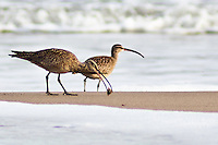 Long, elegant legs and gently curved bills help identify these two visitors to Pomponio State Beach as whimbrels.