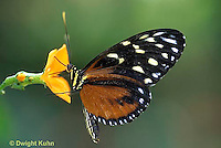LE45-003a  Butterfly - Tiger Longtail from Central and South America - Heliconius hecale