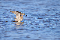 Long-billed Dowitcher (Limnodromus scolopaceus), in winter plumage exercising its wings at the Riparian Preserve at Water Ranch, Gilbert, Arizona.