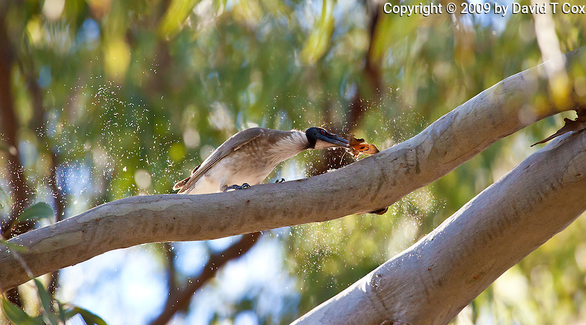 Noisy Friarbird w butterfly, 1770 camp, Queensland, Australia