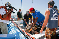 turtle researchers from the NGO Pro Caguama study and capture the critically endangered Loggerhead Turtle (Caretta caretta) from the town of Puerto Lopez Mateos, Baja California Sur, Mexico, Gulf of California, Sea of Cortez, Pacific Ocean As many as 17 of these turtles wash up dead as bycatch in the gill-net and long-line fisheries each day along the Pacific Coast beaches of Isla Magdalena. The group is trying to educate fisherman to the devistation this is causing in Loggerhead populations in the North Pacific Ocean