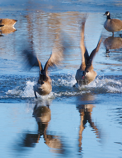 A Canada Goose chasing another goose away from its territory during spring mating season