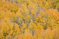Fall colors near North Clear Creek Falls.<br /> <br /> Canon EOS 5D, 70-200 f/2.8L lens