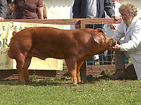 The interbreed pig champion, Duroc boar Maddaford Goff from A. P. and P. C. Rose of Buckland St. Mary, Chard, Somerset.