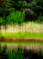 Still waters of Ballynahinch River with edge reeds and rhododendron. Connemara. County Galway, Ireland