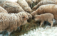 Sheep, Ewes, Snow, Winter