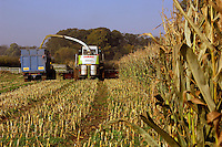 Contractors B. W. Greenwood forage harvesting Potter maize on G. C. Hill and Son's Helmersdale Farm, Crosby, Thirsk, North Yorkshire. The maize crop of 38 acres will be fed to the farm's 140 commercial Black and White cows supplying milk to Arla.