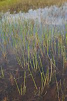 Gewöhnliche Sumpf-Simse, Sumpfsimse, Sumpfried, Sumpf - Simse, Eleocharis palustris, Common Spike Rush