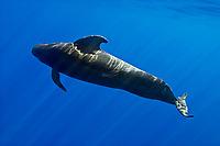 short-finned pilot whale, Globicephala macrorhynchus, Hawaii, Pacific Ocean