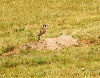Burrowing owl at burrow in prairie dog town