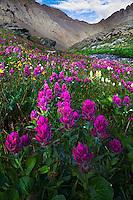 Summer flowers in Clear Lake Basin, San Juan Mountains