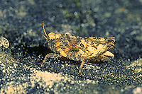 Zweipunkt-Dornschrecke, Zweifleck-Dornschrecke, Weibchen, Tetrix bipunctata, Two spotted groundhopper, female, Dornschrecken, Tetrigidae, grouse locusts, pygmy locusts, groundhoppers, pygmy grasshoppers