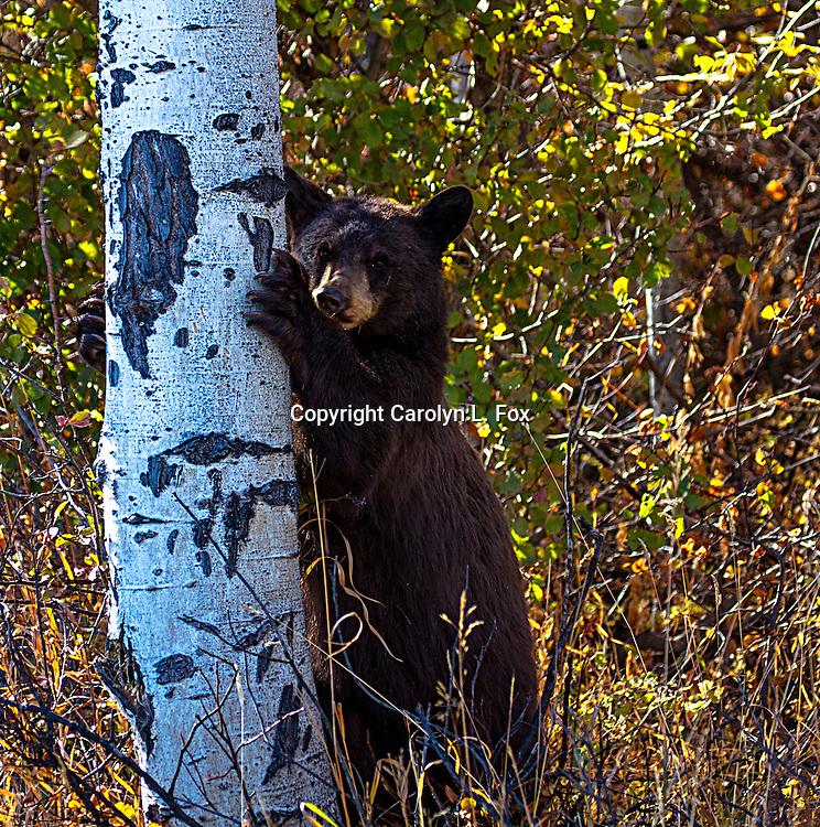 A young black bear climbs an aspen tree.
