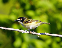 Adult male black-capped vireo