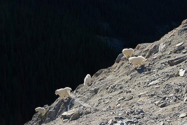 Mountain Goats (Oreamnos americanus) in Northern Rockies, fall.