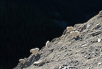 Mountain Goats (Oreamnos americanus) in Northern Rockies, fall.