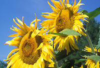 Sunflowers Henry Wilde. Helianthus annuus against blue sky, two flowers macro, showing seedhead and yellow petals, cheerful sunny summer day