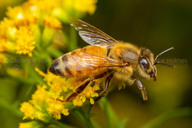 A Western Honey Bee (Apis mellifera) forages for nectar on a Goldenrod flower.