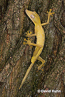 1004-0802  Lined Leaf-tailed Gecko Climbing, Uroplatus lineatus © David Kuhn/Dwight Kuhn Photography.