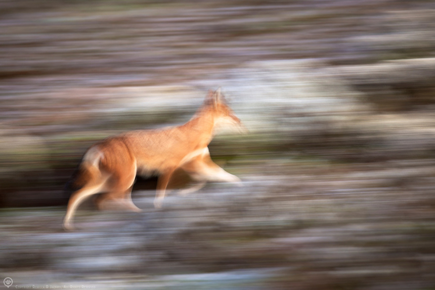 Built for speed, a wolf races across the highlands in search of food.
