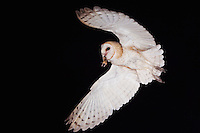 Barn Owl, Tyto alba, adult in flight with mouse prey, Willacy County, Rio Grande Valley, Texas, USA, May 2007