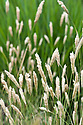 Phalaris aquatica, early July. Commonly known as Bulbous canary grass and Harding grass.