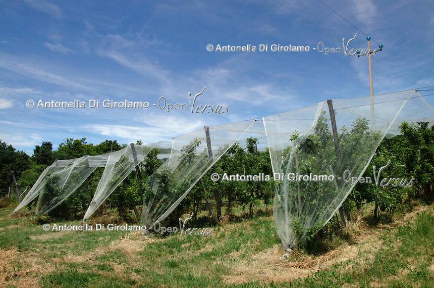 Agricoltura. Agriculture.Filari di mele con rete di protezione contro la grandine..Rows of apples with a net of protection against hail....
