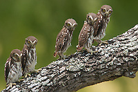 Five Ferruginous Pygmy-Owls perch on a oak limb the day after fledging.