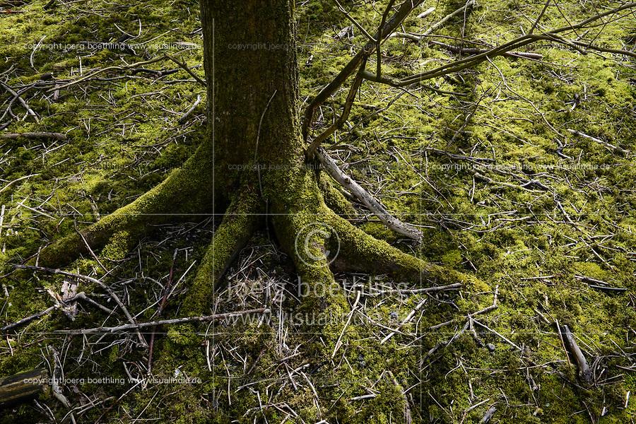 GERMANY,  Sylt, forest, tree with moss / intakter Wald, Laubwald, Landschaftsschutzgebiet , Baum mit Moos