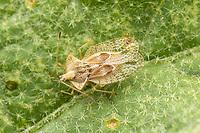 An Eggplant Lace Bug (Gargaphia solani) on a Western Horsenettle (Solanum dimidiatum) leaf.