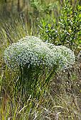 Brazil. Cerrados veggetation; Semprevivas (Eriocaulaceae), everlasting flowering cerrados plants.