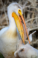 American White Pelican (Pelecanus erythrorhynchos) feeding chick. Lake County, Oregon.