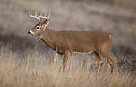 Whitetail buck in Montana