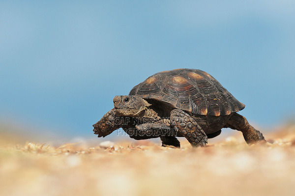 Texas Tortoise (Gopherus berlandieri), male walking, Dinero, Lake Corpus Christi, South Texas, USA