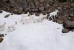 Dall sheep herd moves across glacier, Wrangell-St. Elias National Park, Alaska, USA