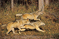 Gray Wolves (Canis lupus) running.