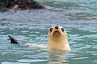 Antarctic fur seal, Arctocephalus gazella, aka Kerguelen fur seal, rare, leucistic pup, South Georgia, Atlantic Ocean
