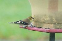 American Gold Finch in my yard
