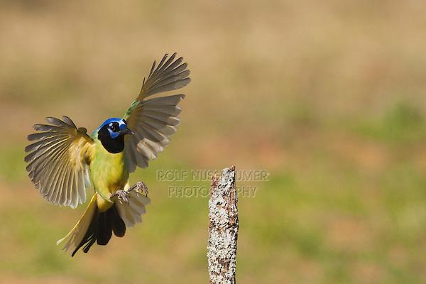 Green Jay (Cyanocorax yncas) adult landing, Starr County, Rio Grande Valley, South Texas, USA