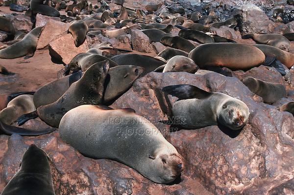 Brown Fur Seal (Arctocephalus pusillus), colonie, Cape Cross, Namibia, Africa