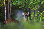 Yoiung white-tailed buck in northern Wisconsin.