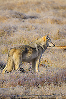 Wild GRAY WOLF (Canis lupus) in frosty meadow.  Greater Yellowstone Ecological Area.  Fall.
